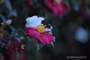 雪が被った椿