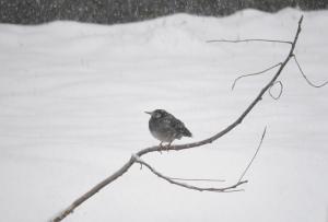 雪にけぶるムクドリ