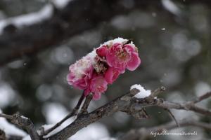 紅梅に雪が降る