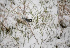 雪のシジュウカラ
