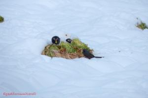 キャベツを食べる鳥たち