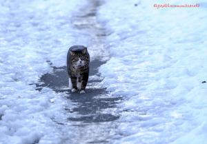 雪の遊歩道を歩く猫