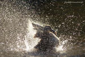 カルガモの水浴び