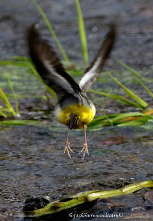 羽を繕うキセキレイ