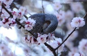 梅の花にヒヨドリ