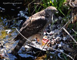 ハトを食べるオオタカ