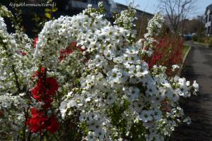 ボケの花とユキヤナギ