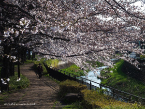 桜咲く黒目川