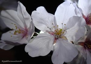 夜桜のアップ