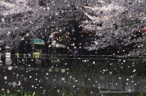 遊歩道の桜吹雪