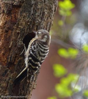 巣を掘るコゲラ