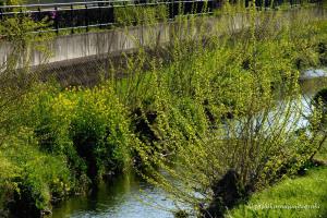 春の黒目川