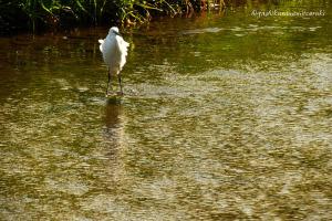 緑の水面とコサギ