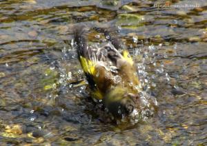 水浴びするカワラヒワ