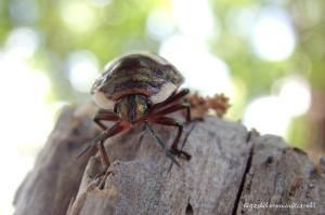 アカスジキンカメムシの幼虫?