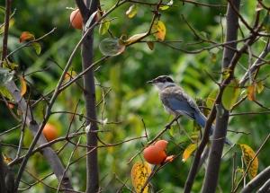 柿食うオナガ