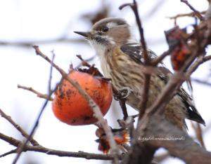 柿食うコゲラ