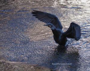 羽ばたくカワウ