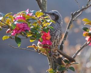 椿にヒヨドリ