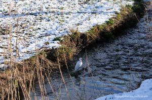 雪晴れのサギ