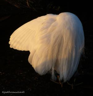 羽を繕うコサギ