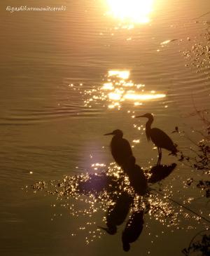 夕日のコサギ