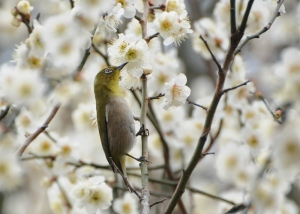 梅の花にメジロ