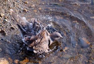 水浴びするキジバト