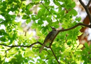 新緑のヒヨドリ