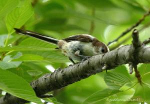 エナガの幼鳥