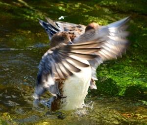 羽ばたくヒドリガモ