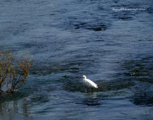青い川に立つコサギ