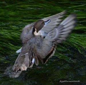 羽ばたくオナガガモ