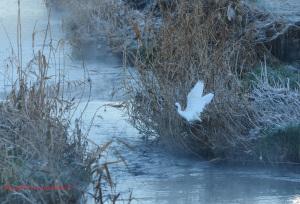 朝霧とコサギ