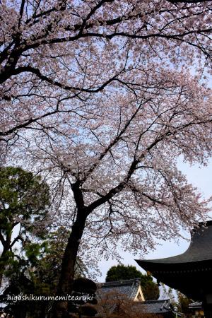 桜咲く大円寺