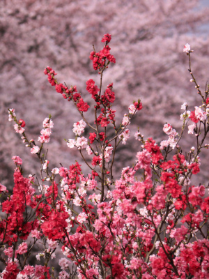 桃と桜が競い咲き