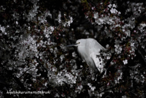 桜にたたずむ夜のコサギ