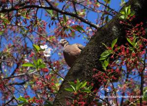 キジバトも桜色