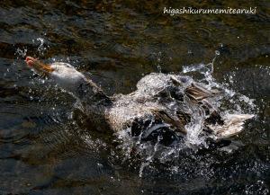 水浴びするカモ
