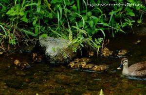 カルガモのヒナ11羽