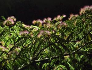 夜に浮かぶネムの花