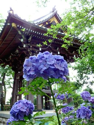 お寺の紫陽花