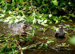 ムクドリの若が水浴び