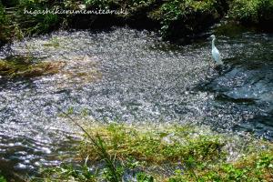 川面の反射とコサギ