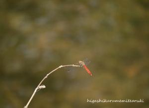 枝先の赤とんぼ