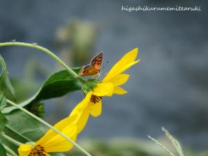 キクイモの花にベニシジミ