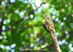 木屑を飛ばすコゲラ