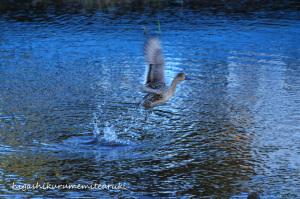 飛び立つオナガガモ