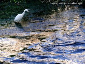 光る川のコサギ