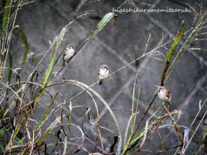 河原のスズメたち